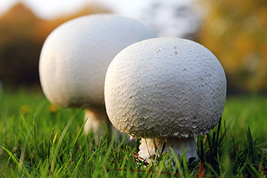 Two Fish: Agaricus Urinascens